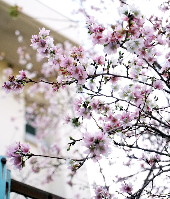 寒桜 冬空の下で凛と/久御山・東角小