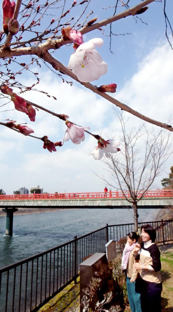 「まつり」ないけど桜咲く/宇治川畔