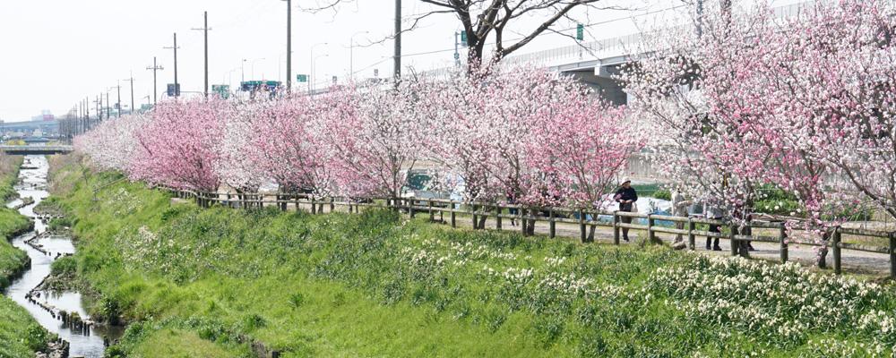 植栽10年 春の水辺に桃並木/宇治・巨椋池干拓地