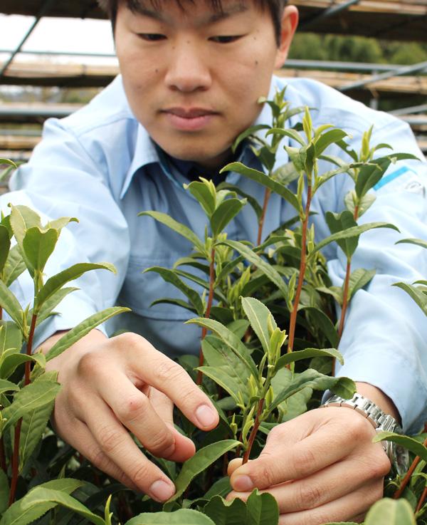 一番茶の「萌芽」を宣言/府茶業研究所