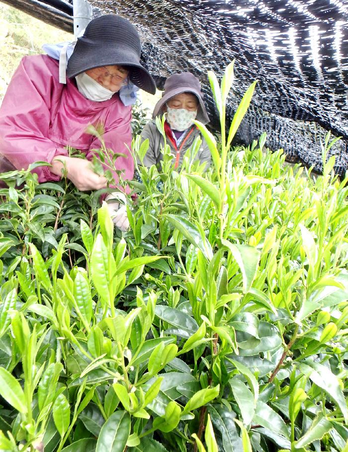 緑茶発祥の地で「初摘み」/宇治田原