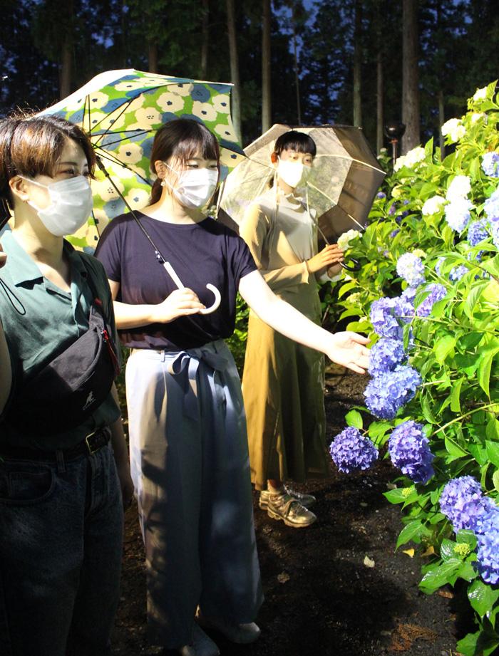 入梅に 咲き誇る大輪/三室戸寺あじさい園ライトアップ