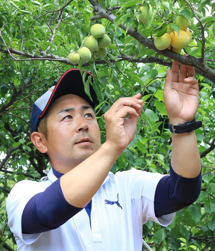 『城州白』収穫ピーク/城陽特産の大梅