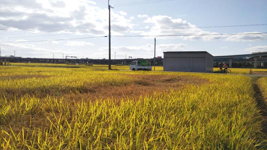 ウンカ被害 地元でも「坪枯れ」/稲刈りシーズンに打撃