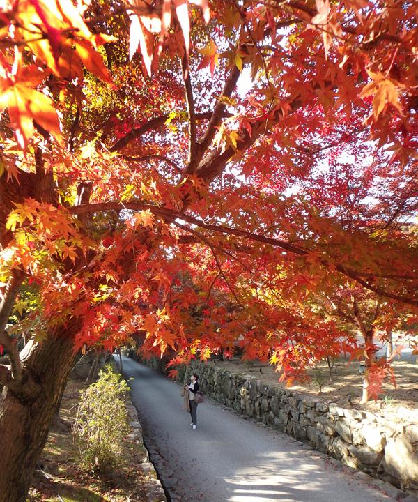 鮮やかさ増す宇治の紅葉