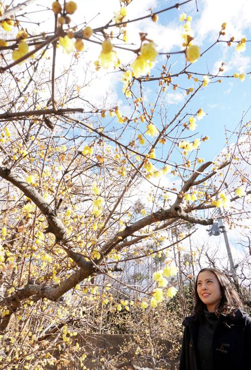 ロウバイ 早春の香り/城陽