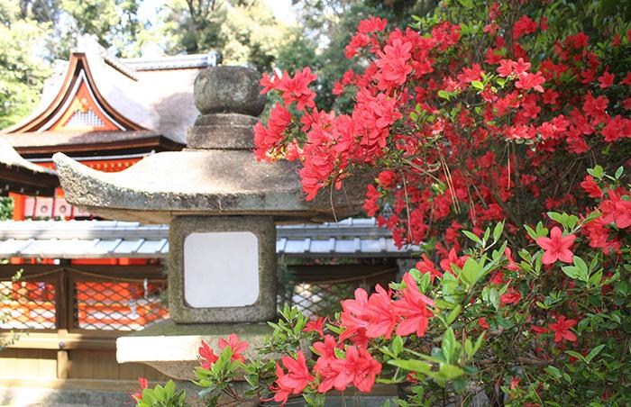新緑の季節に鮮やかな朱色/城陽・水度神社のキリシマツツジ