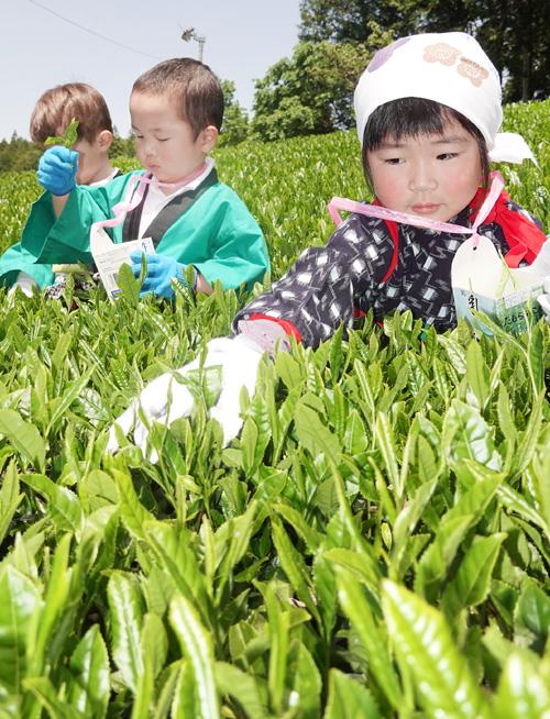 専用茶畑で新芽を手摘み/宇治田原