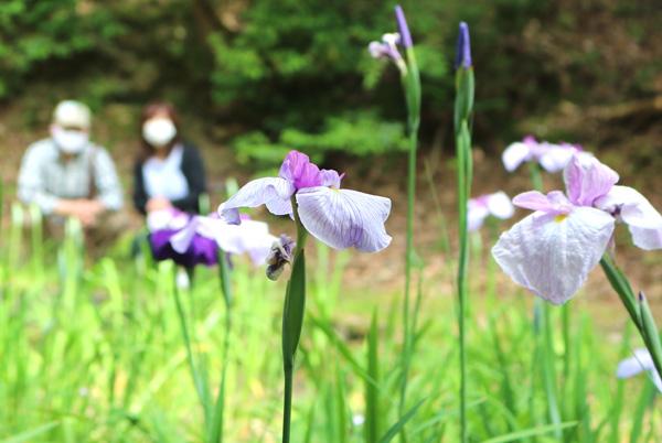 「花しょうぶ池」見事復活/城陽・鴻ノ巣山散策道