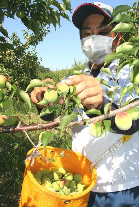 大梅の収穫本格化/城陽・青谷梅林
