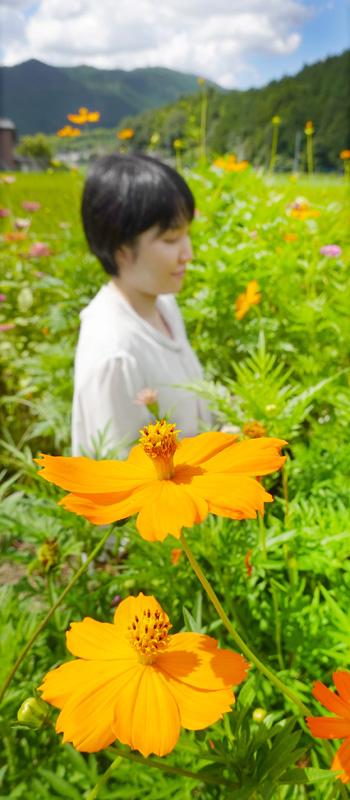稲穂垂れる山里に秋桜/宇治田原