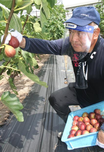 9月初めにかけ甘さ増す/城陽特産 イチジク収穫ピーク